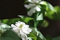 八重咲ドクダミが咲いています。 - 玉家の生存報告