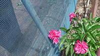 3~4年前に徳山から戴いた芍薬に初めて花が咲きました - メロン作り日記