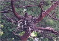 トビ 子育て中、可愛い雛に付きっきり - 野鳥の素顔 <野鳥と・・・他、日々の出来事>