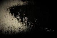 芝生とニワゼキショウ - フォトな日々
