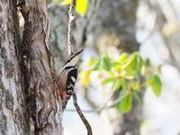 間近なオオアカゲラ - コーヒー党の野鳥と自然 パート2