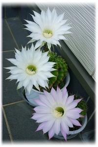 ◆吉兆を知らせてくれたサボテンの花(*´ω`) - ☆彡ちいさな幸せ☆彡別館
