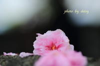 桜の終焉 - ロマンティックフォト北海道☆カヌードデバーチョ