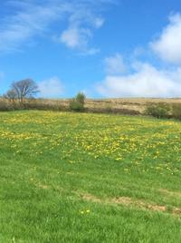 真黄色に染まる牧草地 - イギリス ウェールズの自然なくらし