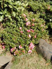 「さつき」が開花中 - 【出逢いの花々】