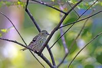 過去の出会い:マヒワ - 武蔵野の野鳥