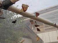 ウラギンヒョウモンの実験 - 秩父の蝶