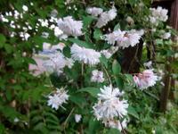 更紗空木 - ろりぽりの花
