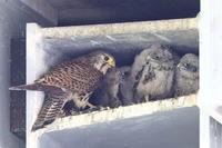 チョウゲンボウの子育て8 巣の雛達 - 気まぐれ野鳥写真