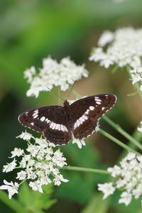 シシウドの花の食堂 - 川の流れのカンツカブログ