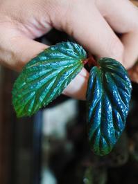 ベゴニアの1種 'メタリック・ブルー' - Blog: Living Tropically