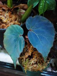 木立性ベゴニアの1種(タタウ産)青光 #2 - Blog: Living Tropically