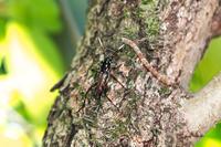 ムネマダラトラカミキリ - Insect walk