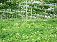 葡萄の花穂整形 - 葡萄と田舎時間