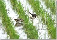一妻多夫で繁殖する、タマシギ - THE LIFE OF BIRDS --- 野鳥つれづれ記