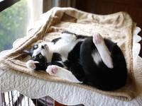 猫のお留守番 にこくん編。 - ゆきねこ猫家族