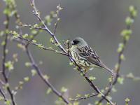 高原でアオジ - 『彩の国ピンボケ野鳥写真館』