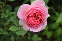 ボスコベルとジアレンウィックローズ - my small garden~sugar plum~