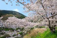 京都の桜2017 田原川沿いの桜並木 - 花景色-K.W.C. PhotoBlog