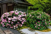 シャクナゲ咲く古知谷阿弥陀寺 - 花景色-K.W.C. PhotoBlog
