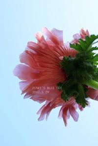 オニゲシ* 咲く   (そして2年♪) - FUNKY'S BLUE SKY
