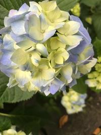 紫陽花、ようやく色が付いてきたよ - Pushpin Diary(L.J.Style Book)
