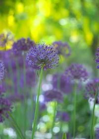 黄金と紫のコンビネーションをもう少し - 花散歩写真 in Vancouver