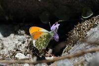 2017年5月27〜29日 上高地で見た蝶 - 蝶・花・山~自然の色使い