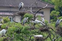 初見 イカルチドリの幼鳥 - 野鳥写真日記 自分用アーカイブズ