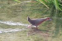 まっくろくろすけヒクイナ幼鳥 - 野鳥写真日記 自分用アーカイブズ