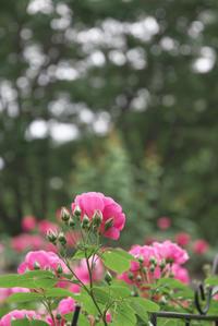 「薔薇の季節」 - hal@kyoto