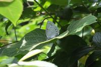 ■ ゼフ第3弾はウラゴマダラシジミ   17.5.31 - 舞岡公園の自然2