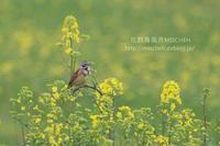 花見鳥No6 菜の花&ホオアカ・ホオジロ - 花野鳥風月MISCHEH