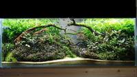 【120センチ水槽】さらに流木を追加【ブセ水槽】 - 癒しのアクアライフ