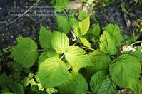 玉蜀黍の苗を植えに。 - une anemone*
