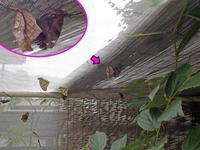 テングチョウの交尾 - 秩父の蝶
