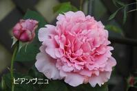 ビアンヴニュとコンテ・ド・シャンポール - マミィの花と手づくりの時間