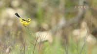 ツメナガセキレイ - 北の野鳥たち