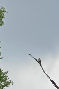 おまけ【サシバ・イカル・モズ・ホトトギス・サンショウクイ・オオルリ・ノスリ】 - 鳥観日和