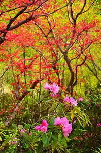 新緑の中の石楠花 - 風の香に誘われて 風景のふぉと缶