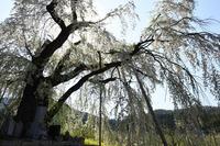 高山村 中横道のしだれ桜 - photograph3