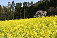 高山村 坪井のしだれ桜 - photograph3