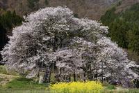 高山村 黒部のエドヒガン桜 - photograph3