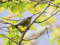 高原でメボソムシクイ - 『彩の国ピンボケ野鳥写真館』