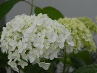 亜米利加糊の木 - 南都☆花模様
