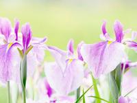 花菖蒲の花言葉は何か知らんけどそんな季節です - スポック艦長のPhoto Diary