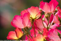 井頭公園の薔薇 その3・・・ - ぶらりカメラウォッチ・・