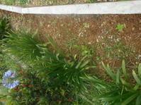 住宅下の花壇、昨日できれいに!百日草植えた。 - 沖縄山城紅茶 茶摘み日記