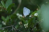 2017年5月29日 多摩地区にてウラゴマダラシジミに会う - 蝶・花・山~自然の色使い