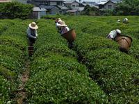 北限の茶摘み - デジタルで見ていた風景